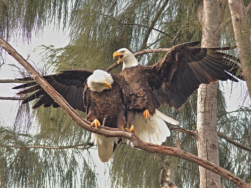 Bald Eagles Jewel and Pride 09-20181117
