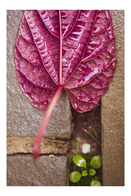 Single Magenta Leaf - Chanticleer - Wayne PA_Web 1_Scaled-X