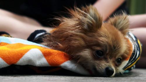 Pippa the Pomeranian | by Parkzer