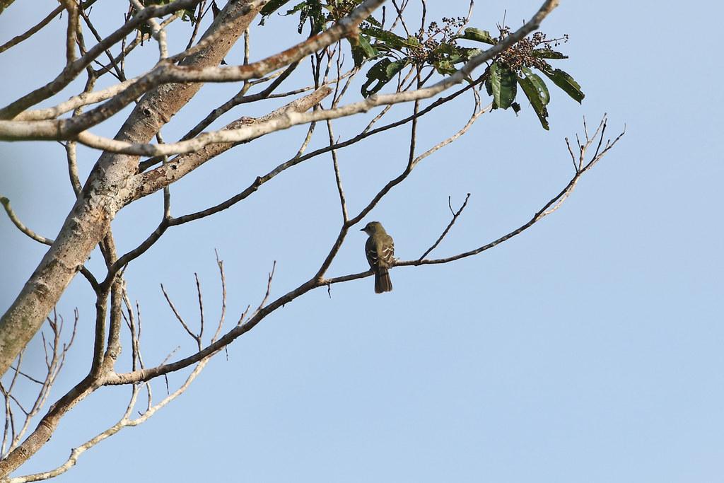 Forest Elaenia, San Lorenzo, Peru October 2018