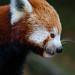 <p><a href=&quot;http://www.flickr.com/people/llingafaal/&quot;>llingafaal</a> posted a photo:</p>&#xA;&#xA;<p><a href=&quot;http://www.flickr.com/photos/llingafaal/45049140235/&quot; title=&quot;Red Panda Profile&quot;><img src=&quot;https://live.staticflickr.com/4879/45049140235_1861cdca55_m.jpg&quot; width=&quot;160&quot; height=&quot;240&quot; alt=&quot;Red Panda Profile&quot; /></a></p>&#xA;&#xA;<p>Red Panda from Dudley Zoo</p>