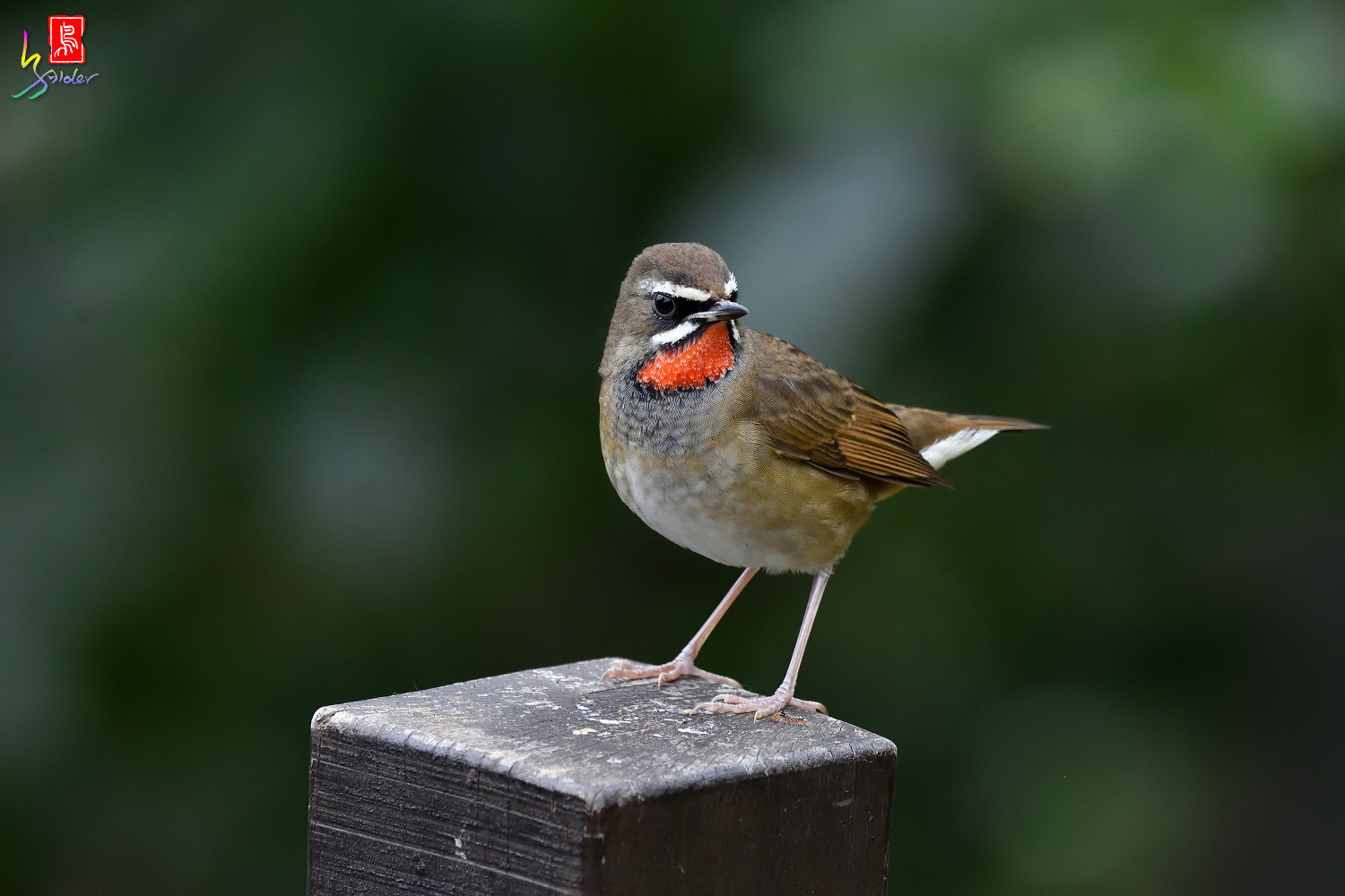 Rubythroat_8505
