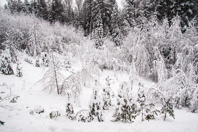 Snow covered forest.