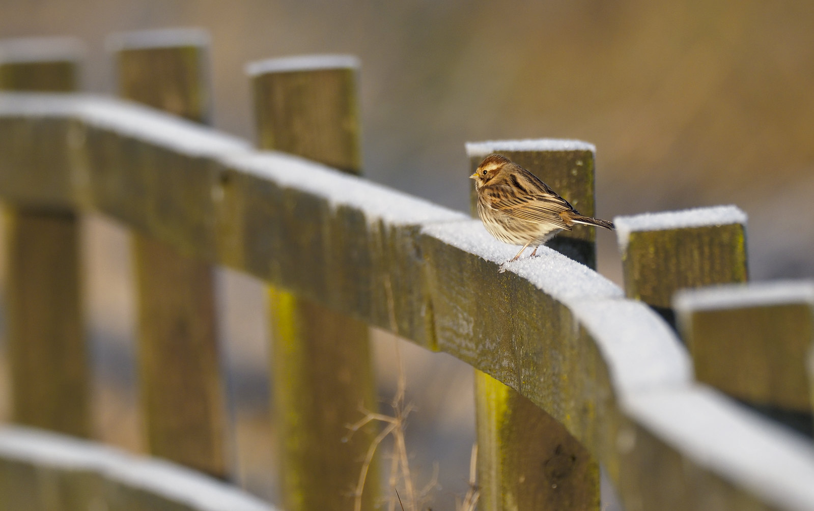 Reed Bunting on frosty fence