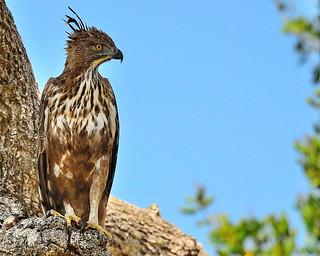 Changeable hawk-eagle or Crested hawk-eagle - Wildlife Sri Lanka
