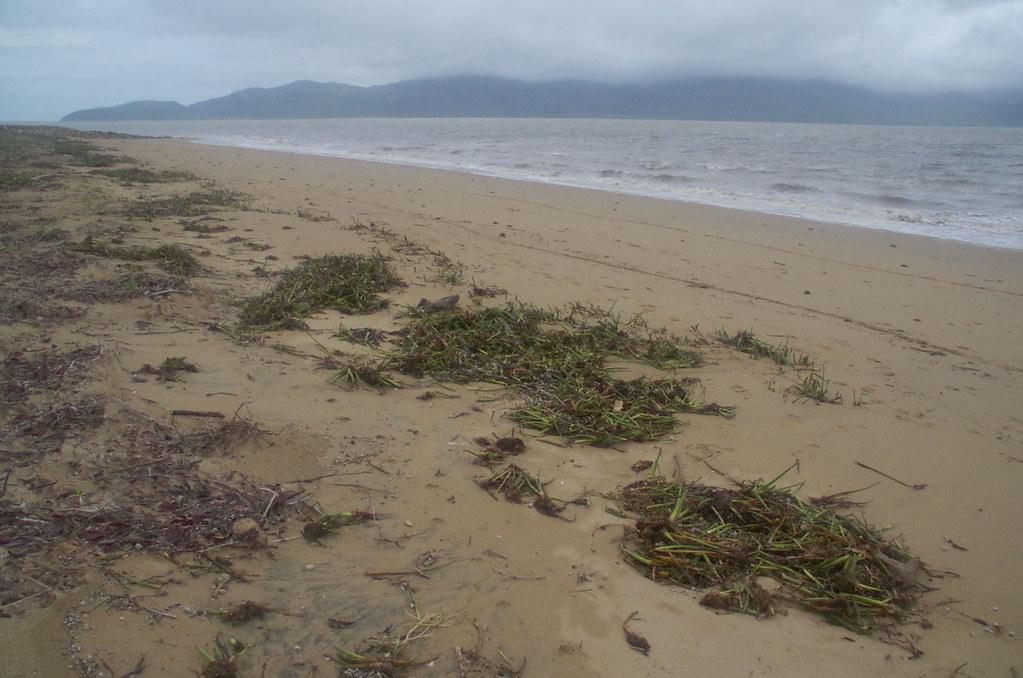 Eichhornia crassipes, Pallarenda Beach, Townsville, QLD, 03/02/19