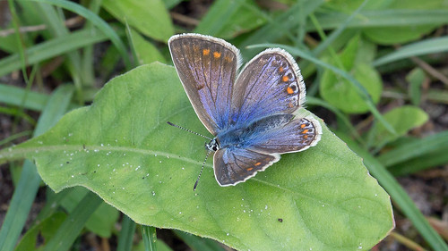 Icarusblauwtje ♀ | by kiekjesdief.nl/vlinders