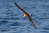 Black-Capped Petrel by Jmawnster