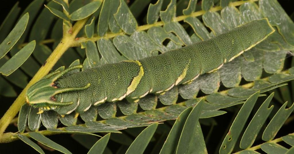 """Common Nawab Butterfly """"Dragonhead"""" Caterpillar (Charaxes (Polyura) athamas, Charaxinae, Nymphalidae)"""