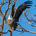 SONY ILCE-A9, Bald Eagle, 9640,  1-1600, f9,  ISO 800, 100-400@560mm by Bill Foxworthy