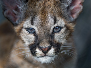 Puma cub very close   by Tambako the Jaguar