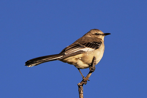 nature landscape birds gambelsquail harriss hawk