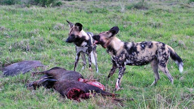 Wildhunde haben eine Antilope gerissen