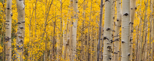 sanisabelnationalforest colorado co aspen fall autumn foliage yellow gold golden trees forest nature landscape nikond800 nikonafnikkor80200mmf28d