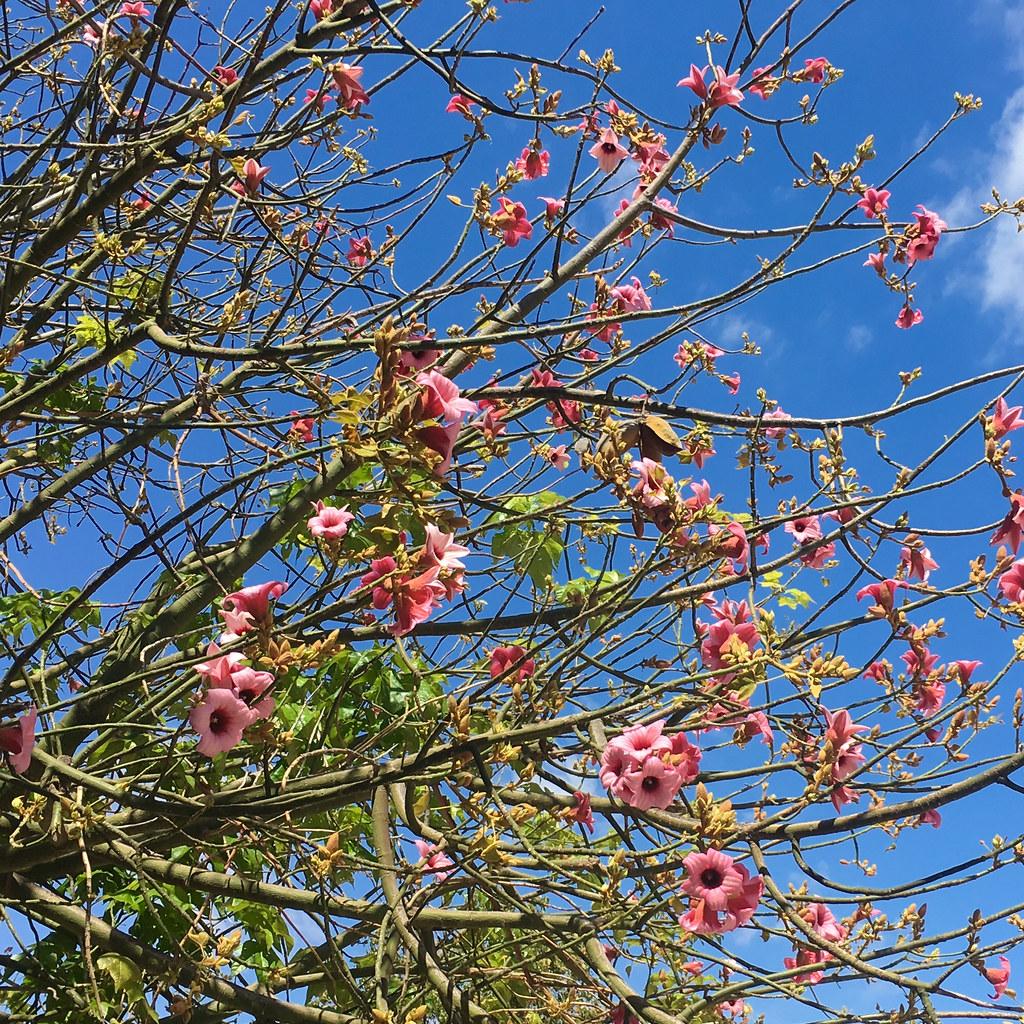 Hibiscus Tree Img3109 Marian Pollock Flickr