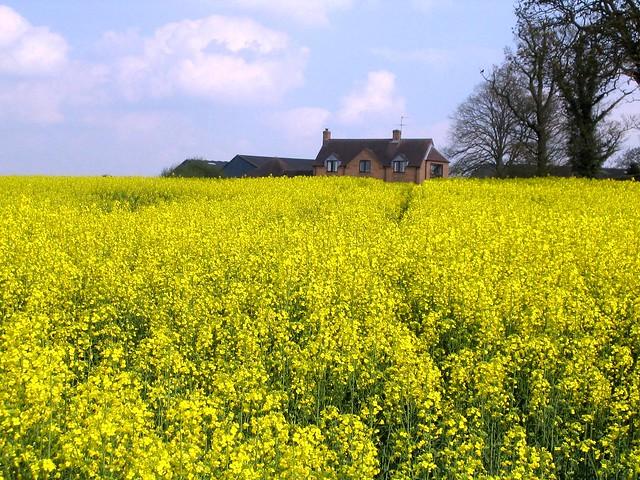 Rapeseed Fields in Shropshire