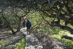 Walking through milkwood trees