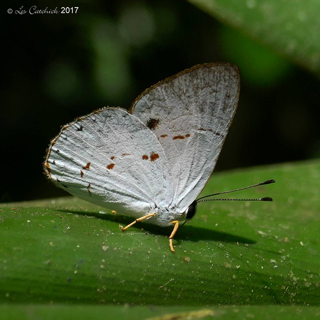 Euselasia opalescens