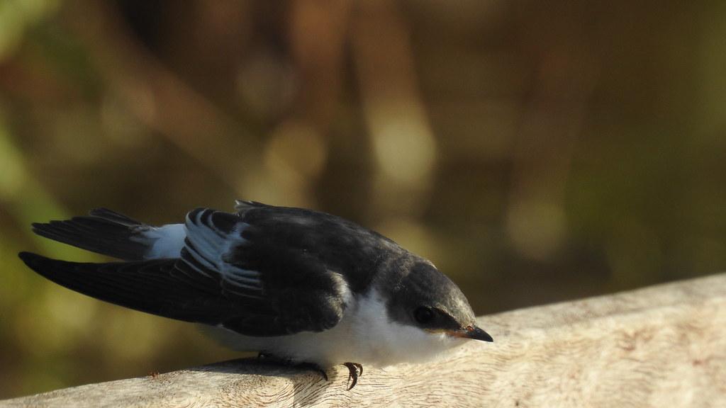 Andorinha-do-rio