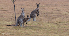 Found a Kangaroo family first thing this morning...