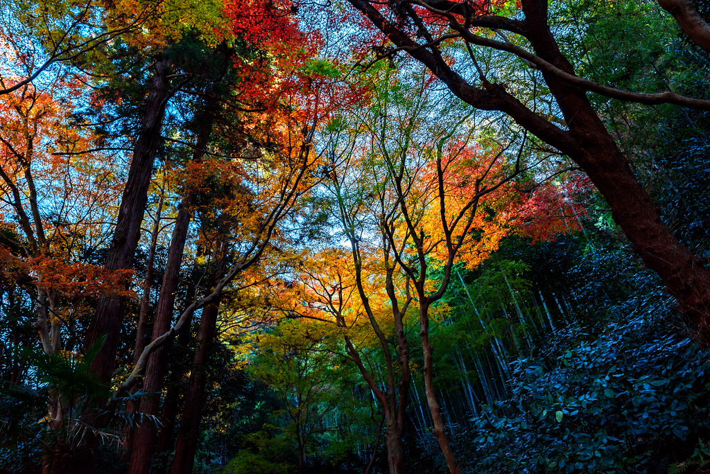 Autumn Leaves of Zuisen-ji Temple, Kamakura : 鎌倉・瑞泉寺の紅葉
