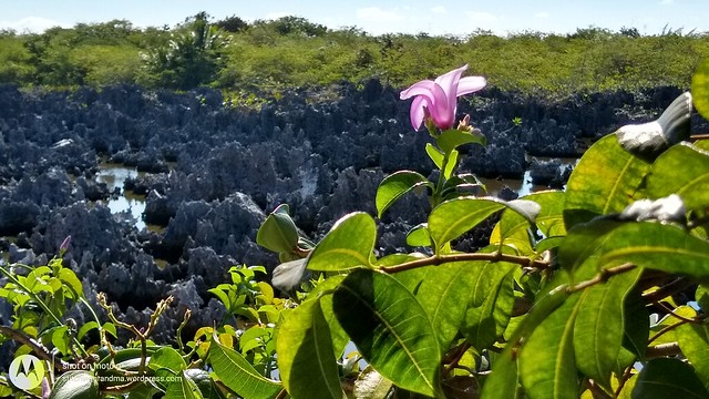 flowering near the dead coral in Hell, Cayman Islands