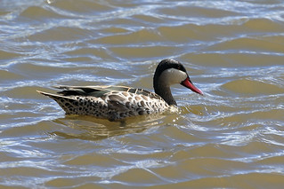 Red-billed teal   by dmmaus
