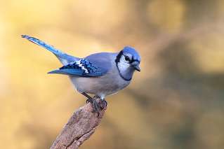 Bluejay   by Rob & Amy Lavoie
