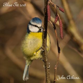 Blue Tit at Nene Park / Ferry Meadows 17/12/18.
