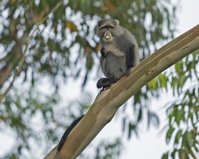 Samango Monkey, Cercopithecus albogularis, Seldom Seen, Bvumba, Zimbabwe