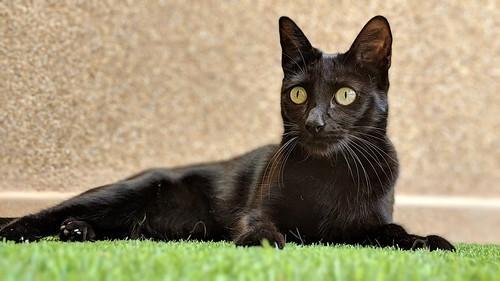 Selva, gatita Pantera guapa, estilizada y divertida esterilizada, nacida en Mayo´16, en adopción. Valencia. ADOPTADA. 32141202628_f64c9d9a36