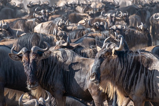Wildebeest migration | by Laura Jacobsen