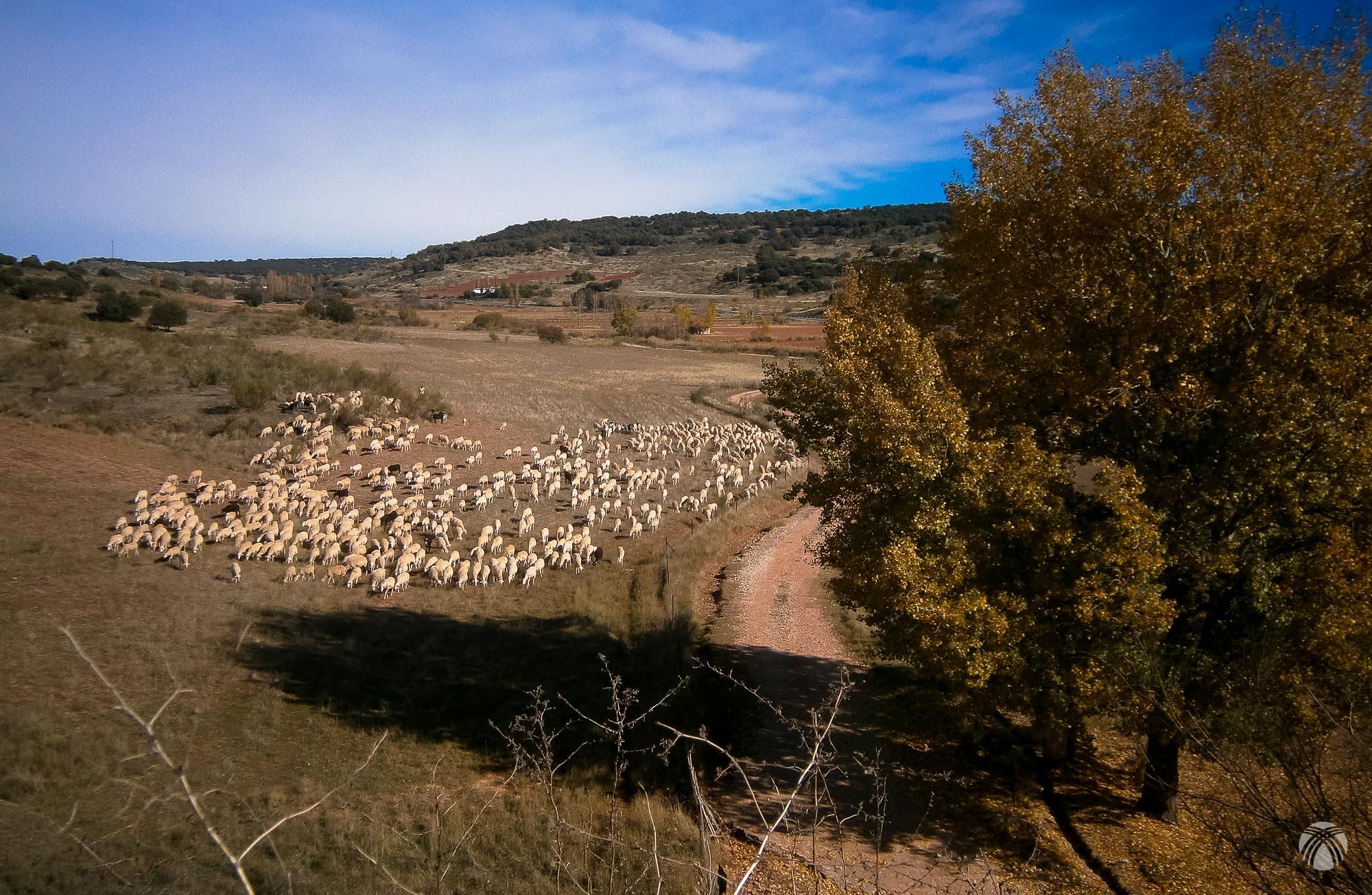 Ganado lanar