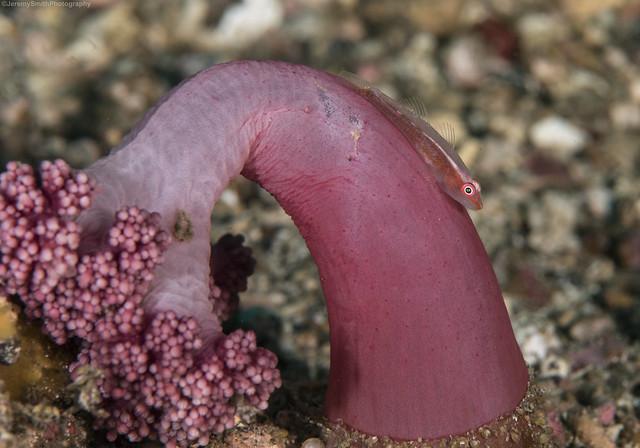 Pink-eye Goby, Bryaninops natans, Lembeh, Indonesia