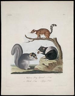 Hudson's Bay Squirrel, Black Squirrel, Grey Squirrel / Écureuil de la baie d'Hudson, écureuil noir, écureuil gris