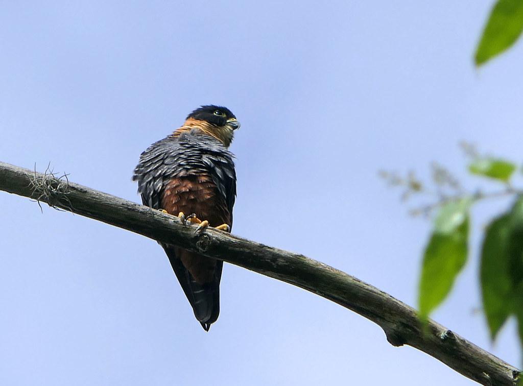 Halcón Murcielaguero, Bat Falcon (Falco rufigularis)