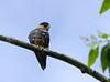 Halcón Murcielaguero, Bat Falcon (Falco rufigularis) by Francisco Piedrahita