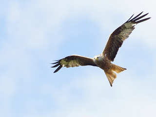 Red Kite (Milvus milvus) | by hanskrabbendam