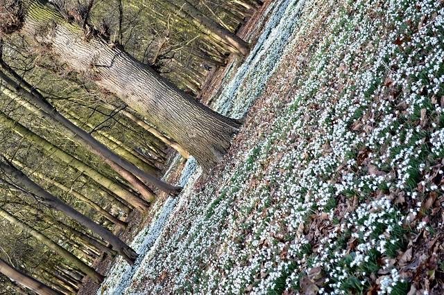 Snowdrops in Attingham Park
