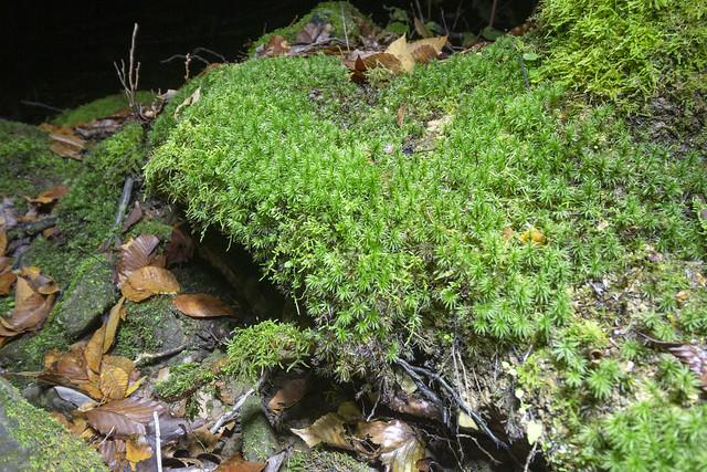Lycopodium lucidulum, Lost Creek SNA, White County, Tennessee
