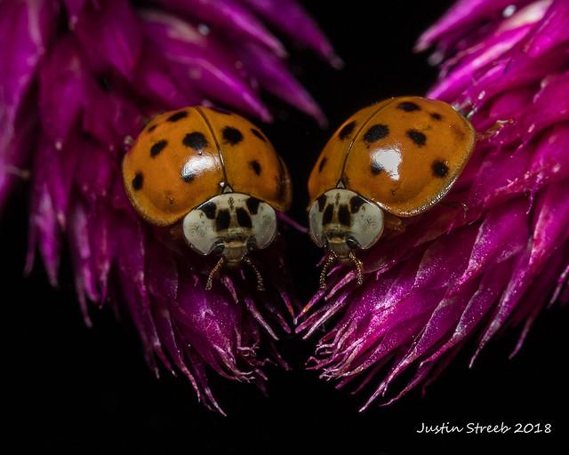 Ladybug Reflection 3