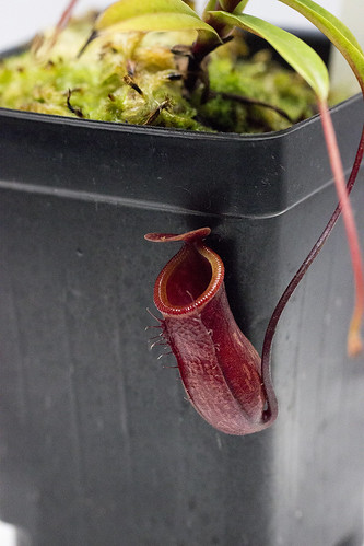 Nepenthes pitopangii NE tc