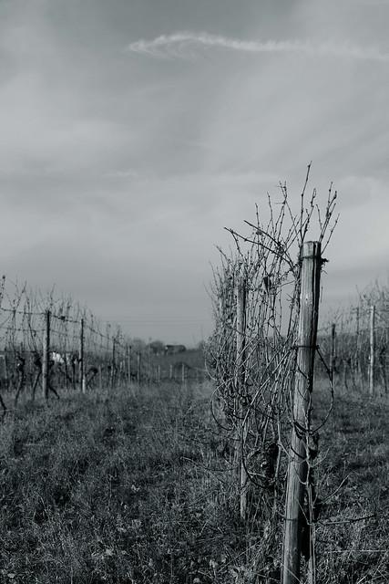 winter light@winefield, Heilbronn, Germany
