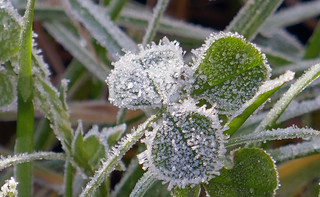 frosty clover | by aliwhite42
