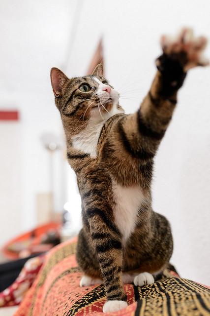 Efrén, gatito blanquipardo súper dulce positivo a inmuno nacido en Septiembre´17, en ADOPCIÓN ESPECIAL. Valencia. 31281742877_89be4d8203_z