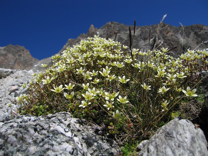 Saxifrage. Val d'Orny, Suisse