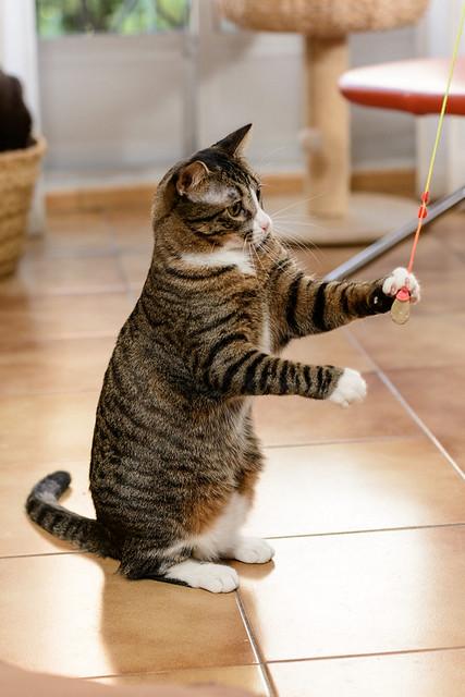 Efrén, gatito blanquipardo súper dulce positivo a inmuno nacido en Septiembre´17, en ADOPCIÓN ESPECIAL. Valencia. 32348462218_d3ee79a49b_z