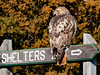 Red-tailed hawk (Buteo jamaicensis) by Mark Millsap