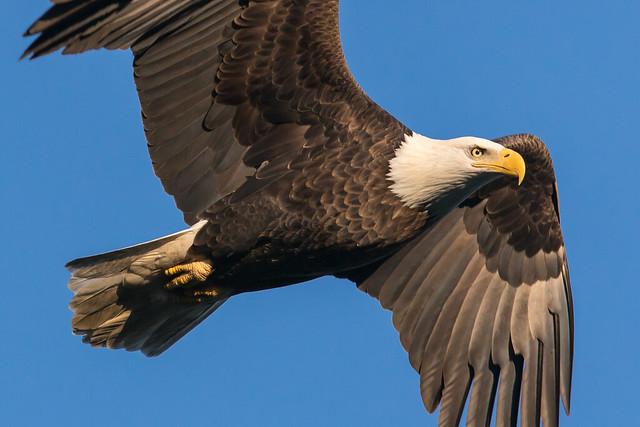 Bald Eagle at Conowingo Dam-84