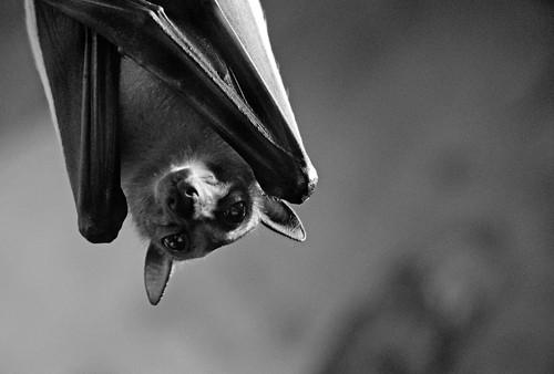 rodent bat strawcoloredfruitbat epz bw